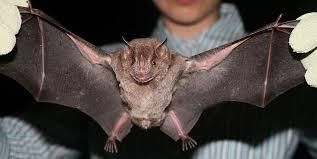 Fruit bat Wing Span