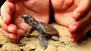 turtle conserve