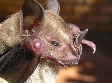 Jamaican Fruit Bat